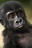 Baby gorilla - Mefou National Park, Cameroon