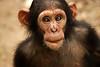 Infant chimpanzee - Mefou National Park, Cameroon