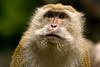 Long-tailed macaque - Langkawi, Malaysia