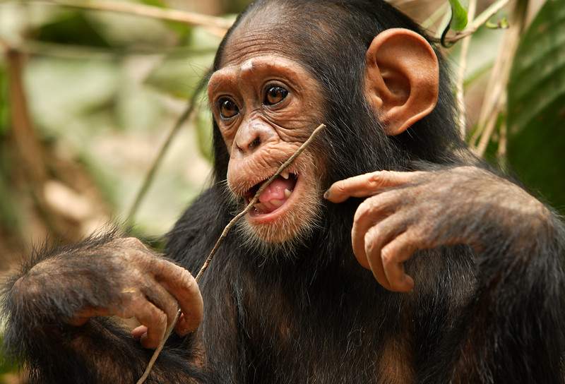 Chimpanzee - Mefou National Park, Cameroon