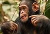 Chimpanzee - Mefou National Park, Cameroon