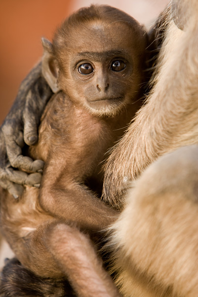 Infant hanuman monkey (common langur) - northern India