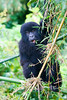Infant mountain gorilla - Volcanoes National Park, Rwanda