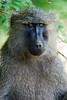 Olive baboon - Akagera National Park, Rwanda
