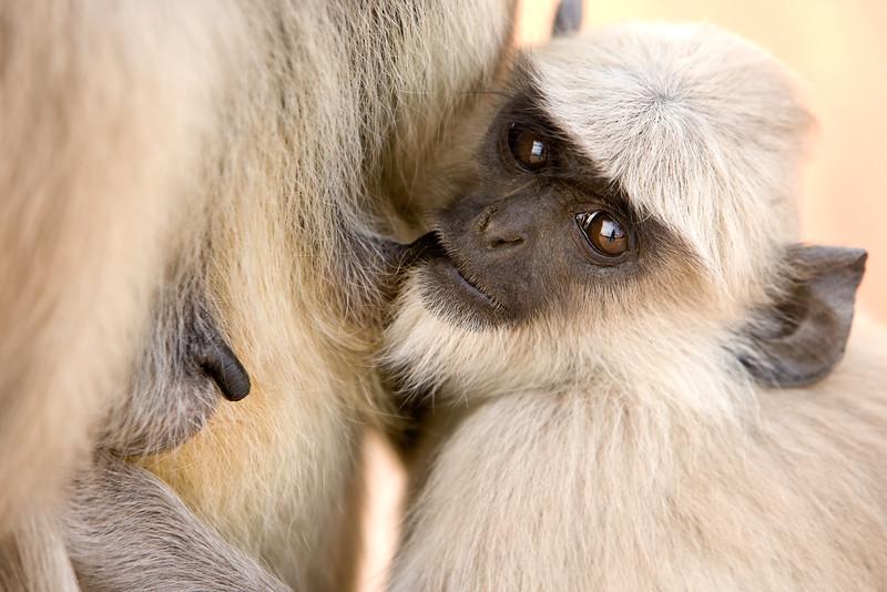 Suckling hanuman monkey (common langur) - northern India