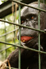 An abused chimpanzee, rescued - Mefou National Park, Cameroon