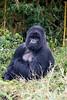 Silverback (male) gorilla - Volcanoes National Park, Rwanda