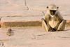 Sleeping hanuman monkey (common langur) - northern India