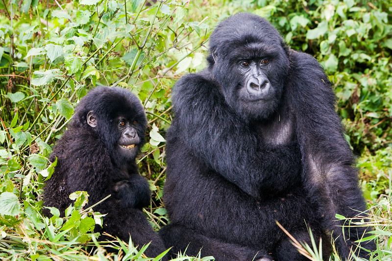 Mother and infant mountain gorillas - Volcanoes National Park, Rwanda