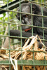 Rescued chimpanzee, Cameroon Wildlife Aid Fund - Mefou National Park, Cameroon