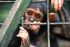 Cameroon Wildlife Aid Fund (CWAF) sanctuary - Mefou National Park, Cameroon