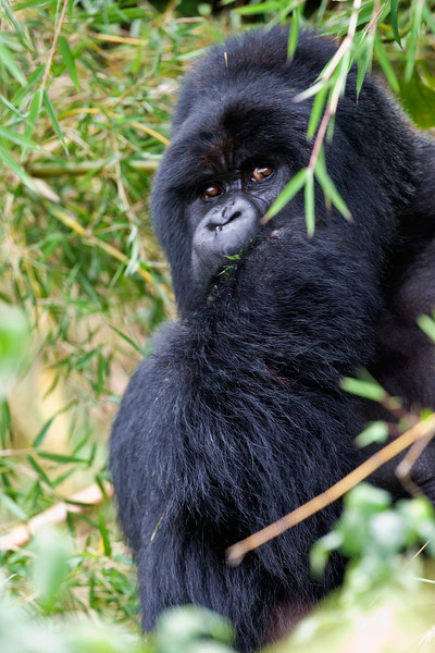 Silverback (male) gorilla - Volcanoes National Park, Rwanda