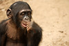 Deep in thought: chimpanzee - Mefou National Park, Cameroon