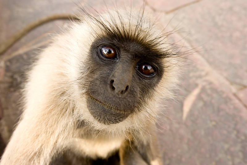 Hanuman monkey (common langur) - Agra, India