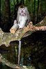 Long-tailed macaque badly injured by a tin can - Langkawi, Malaysia