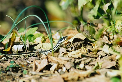 CURIOSITY Garter Snake-Osage Creek Rule, Arkansas