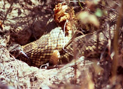 COME CLOSER Western Diamondback Rattlesnake Alpine, California