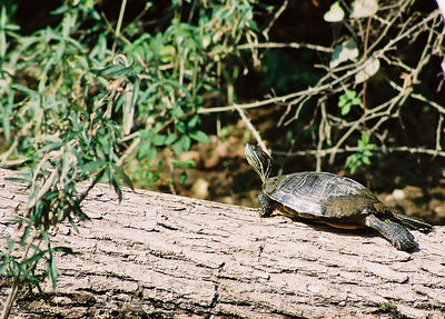 RED EARED SLIDER Elk River, Missouri