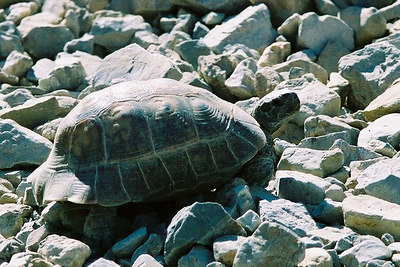 OUR FIRST WILDLIFE ENCOUNTER Iranian Desert Tortoise Family Testudinidae