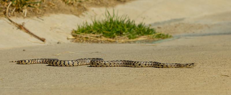 Gopher Snake 1  _MG_9748
