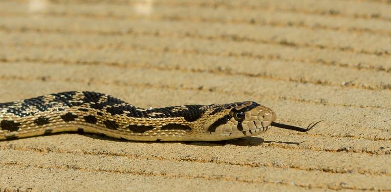 Gopher Snake 2_MG_9753