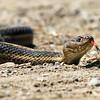 Wandering Garden Snake - Carson Lake Wetlands April29©2014mFaithk copy12014 copy