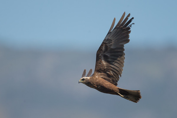 Marsh Harrier-5105