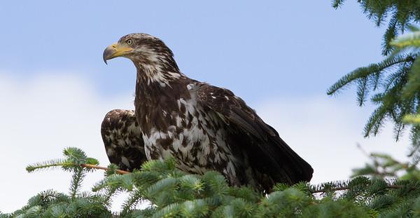 Bald Eagle-1022