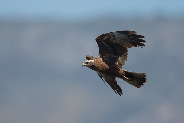Marsh Harrier-5104