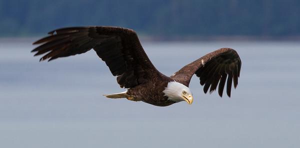 Bald Eagle-9523