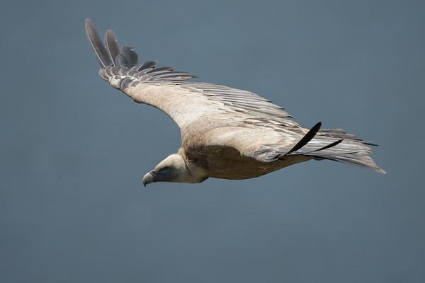 Griffon Vulture-4526