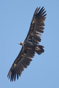 Black Vulture-4002