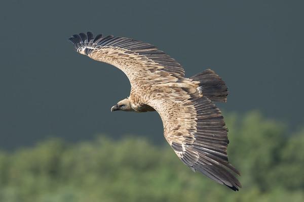 Griffon Vulture-1849