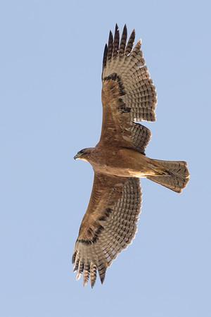 Bonelli's Eagle-2759