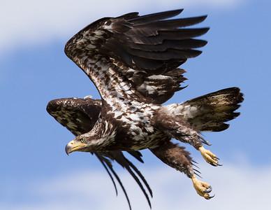 Bald Eagle-1034