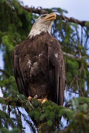 Bald Eagle-1102