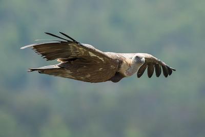 Griffon Vulture-4623