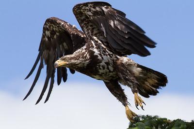Bald Eagle-1029