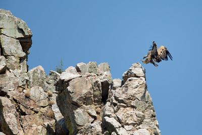 Griffon Vulture-3810