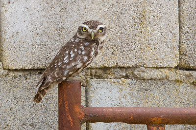 Little Owl-6392