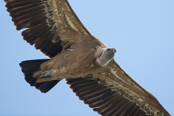 Griffon Vulture-4574