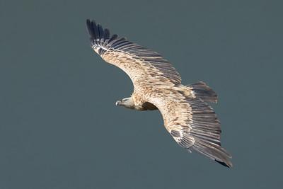 Griffon Vulture-1846