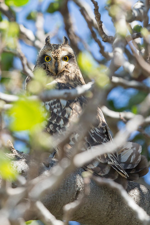Short-eared Owl-9886