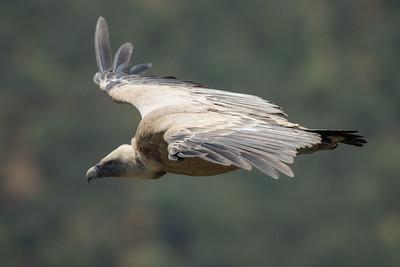 Griffon Vulture-4530