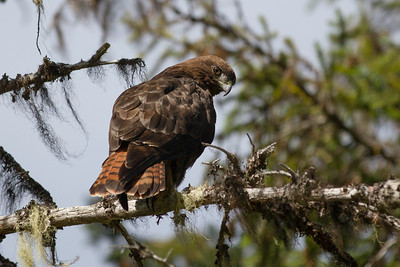 Red-tailed Hawk-1111