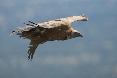 Griffon Vulture-4503