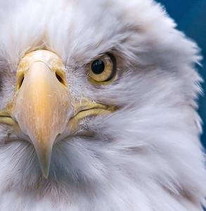 Bald Eagle (rescue)
