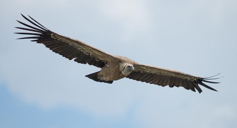 Griffon Vulture-4569