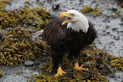 Bald Eagle-7820