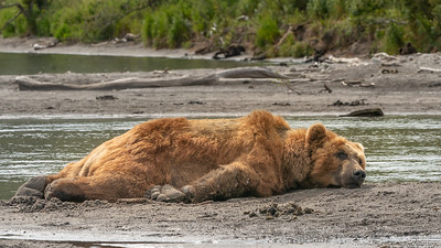 Kamchatka Brown Bear - Russia
